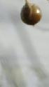 Bes van de asperge