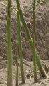 Aspergeplanten