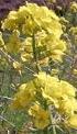 Bloeiende koolplanten