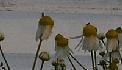 Kamille bij aspergeveld