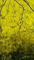 Koolzaad in bloei langs Bels Lijntje