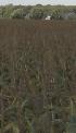 Maisveld bij aspergeveld